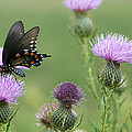 Spicebush Swallowtail Butterfly On Bull Thistle Wildflowers by Kathy Clark