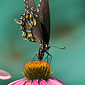 Spicebush Swallowtail Butterfly - Papilio Troilus by Kathy Clark