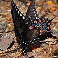 Spicebush Swallowtail Butterfly Preflight by Tara Potts