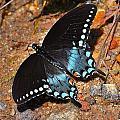 Spicebush Swallowtail Butterfly by Tara Potts