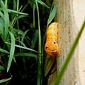 Spicebush Swallowtail Caterpillar by Kimmary MacLean