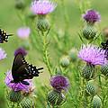 Spicebush Swallowtail Heaven by Kathy Clark