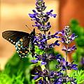 Spicebush Swallowtail by Marilyn Smith