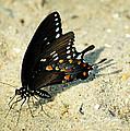 Spicebush Swallowtail Papilio Troilus  by Rebecca Sherman