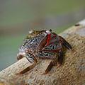 Spider Crab by Jimi Bush