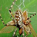 Spider Eating Moth by Millard H. Sharp