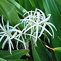 Spider Flower In Sint Maarten by Glenn Aker