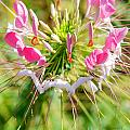 Spider Flower by Optical Playground By MP Ray