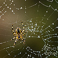 Spider In Web 5 by Tracy Knauer