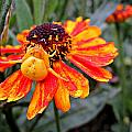 Spider On Helenium by MTBobbins Photography