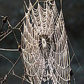 Spider Web by Dennis Pintoski