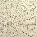 Spiderweb At Dawn by Sabrina L Ryan