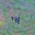 Spined Micrathena Orb Weaver Spider - Micrathena Gracilis by Mother Nature