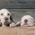 Spinone Puppies by John Daniels