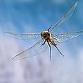 Spiny Baskettail Epitheca Spinigera by Michael Durham