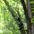 Spiny Orb Weaver by Joshua Bales