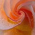 Spiral Rose by Juergen Roth