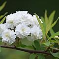 Spirea Blossom by Maria Urso