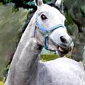 Spirited Grey Horse by Elaine Plesser