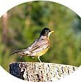 Spirited Robin by Will Borden
