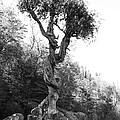Spirt Tree by Chris Artist