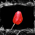 Splashy Red Tulip by Linda Rae Cuthbertson