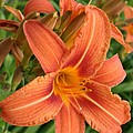 Splendid Day Lily by Christiane Schulze Art And Photography