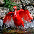 Splish Splash - Red Ibis by Christiane Schulze Art And Photography