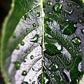 Split Leaf by John Rizzuto