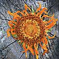 Split Sunflower by Angela Wright
