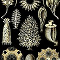 Sponges Sea Sponge Haeckel Calcispongiae Porifera by Movie Poster Prints