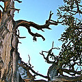 Spooky Bristlecone Pine At Spectra Point On Ramparts Trail In Cedar Breaks National Monument-utah  by Ruth Hager
