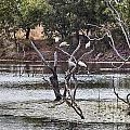 Spoonbill Gathering by Douglas Barnard