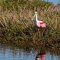 Spoonbill Island Hoping by John M Bailey