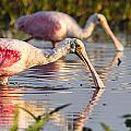 Spoonbill Reflections by Andrew Baita