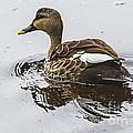 Spot-billed Duck  by Pravine Chester
