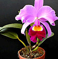 Spotlight On Purple Potted Cattleya Orchid by Elaine Plesser