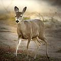 Spotlighted Mule Deer by Jean Noren