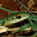Spotted Bush Snake Philothamnus Semivariegatus by Tracey Beer