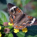 Spotted Butterfly by Richelle Munzon