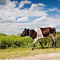 Calf Walking In Natural Landscape  by Arletta Cwalina