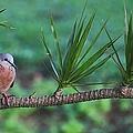 Spotted Dove by Elizabeth Winter