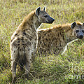 Spotted Hyaena by John Shaw
