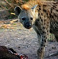 Spotted Hyena by Amanda Stadther