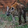 Spotted Hyena by Cathy Lindsey