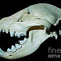 Spotted Hyena by Millard H. Sharp