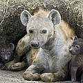 Spotted Hyena Mother And Pups by Suzi Eszterhas