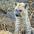 Spotted Hyena Pup In Kruger National Park-south Africa  by Ruth Hager
