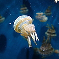 Spotted Jelly Fish 5d24950 by Wingsdomain Art and Photography