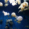 Spotted Jelly Fish 5d24952 by Wingsdomain Art and Photography